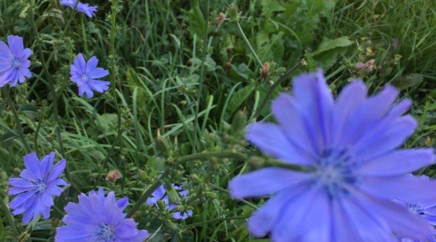 Chicory/Wegwarte