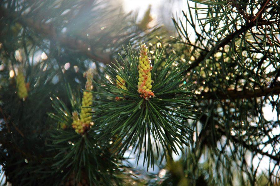 Pine / Kiefer
