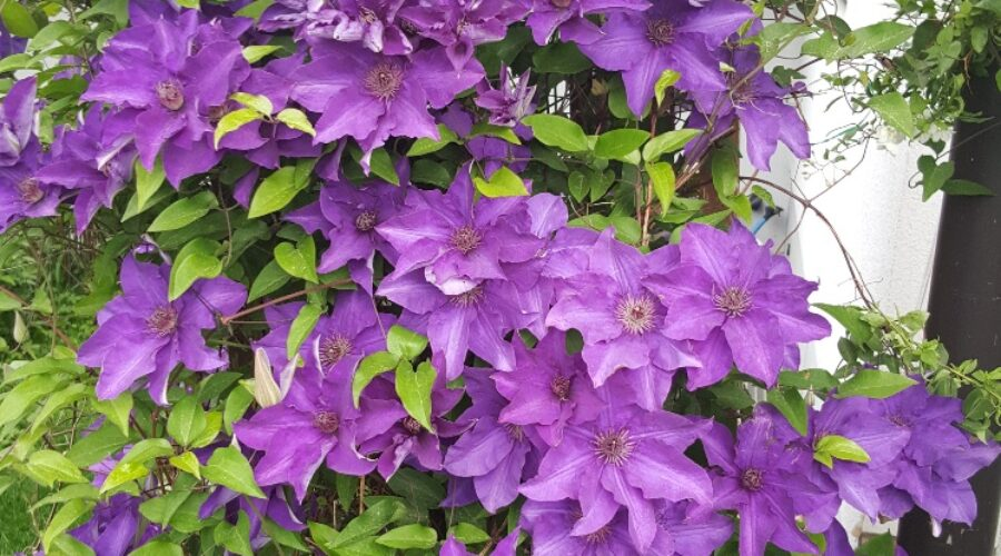 Clematis/Waldrebe