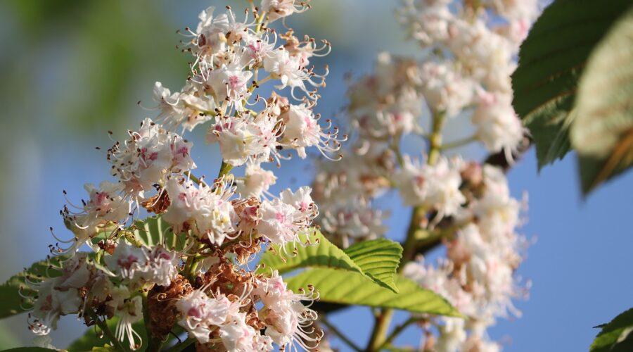 White Chestnut / Weiße Kastanie