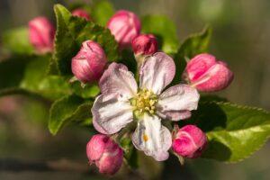 Grab Apple / Holzapfel
