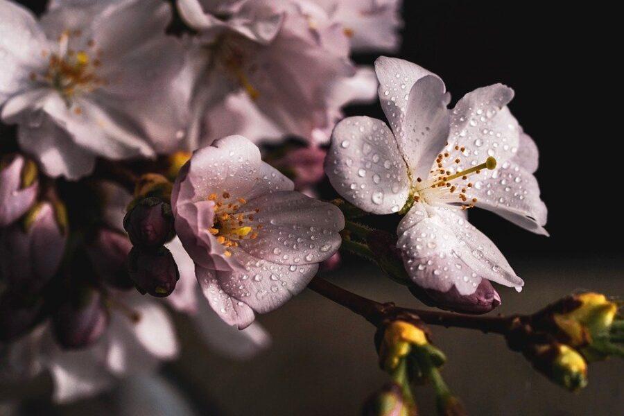 Cherry Plum / Kirsch/Pflaume